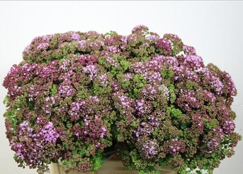 Origanum Marjolein Rose Charm Flowers