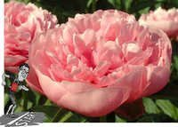 Peony Etched Salmon Flowers