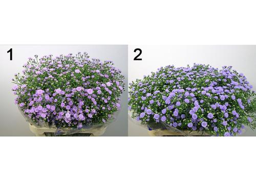 Monte Casin Flowers