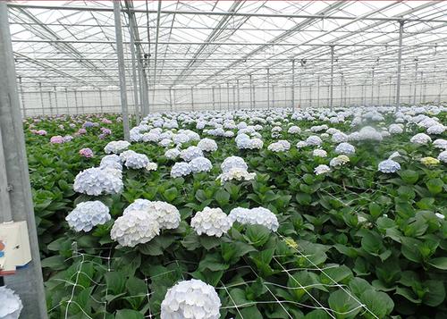 3 Verena Blue Flowers