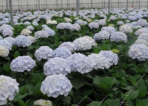 4 Verena Blue Flowers