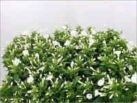 White Phlox Danielle Flowers