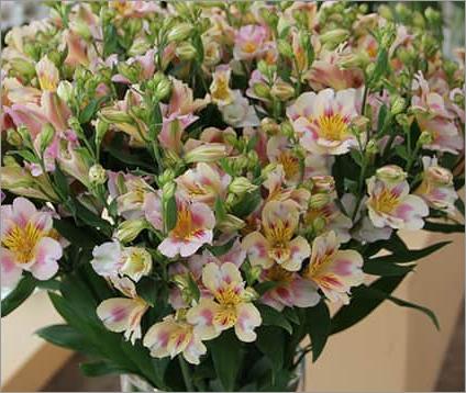 Alstroemeria Ballet Flowers