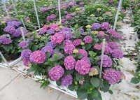 Rodeo Purple Flowers