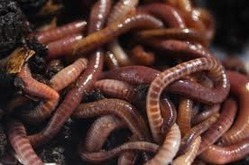 Earthworms for Vermicompos