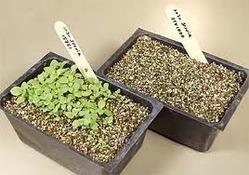 Stevia Seeds for Germination