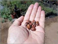 Dry Jojoba Seeds