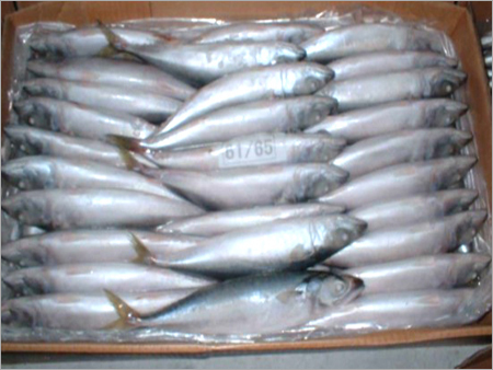 Frozen Pacific Jack Mackerel Fish