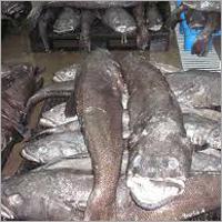 Chilean Seabass Hg Or Patagonian Toothfish