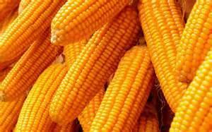Indian Yellow Maize
