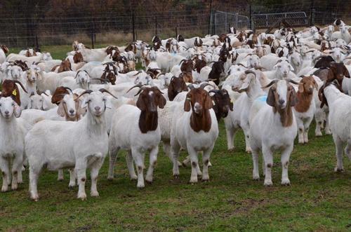 Goat-Farming