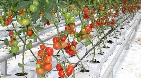 Grow Bags - Tomato