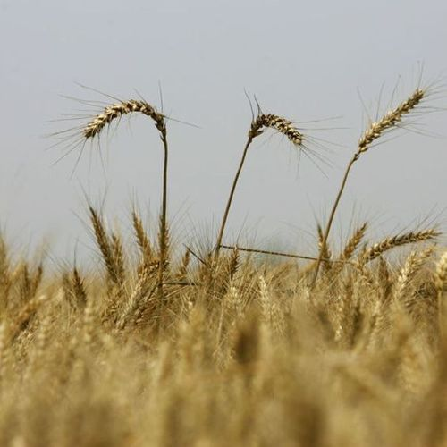 Rice and Wheat Testing Laboratory