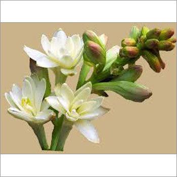 Rajnigandha Flower Seeds - Rajnigandha Flower Seeds Supplier
