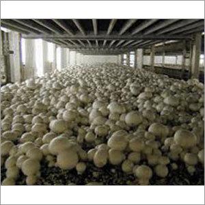 Button Mushroom Plants