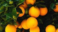 New Crop Oranges