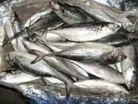 Frozen Horse Mackerel Fish