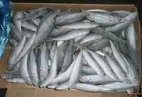 Frozen horse mackerel fish for sale