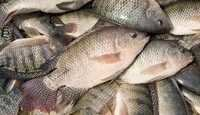 Frozen Whole Tilapia Fish for sale