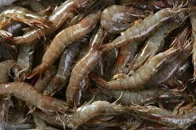 Fresh Chilled Vannamei Shrimps for sale