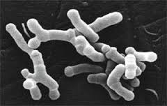 Bifidobacterium Bifidum powder