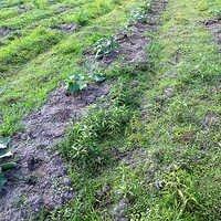Cucumber Plantation