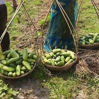 Fresh Green Cucumbers