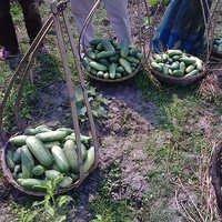 Farm Fresh Cucumbers
