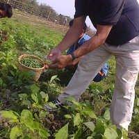 Beans Plucking