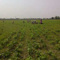 Green Beans Plantation