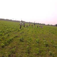 Beans Plantation