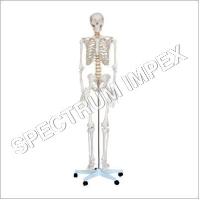 Life Size Human Skeleton