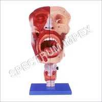 Nasal Oral Pharynx And Larynx Cavities Model