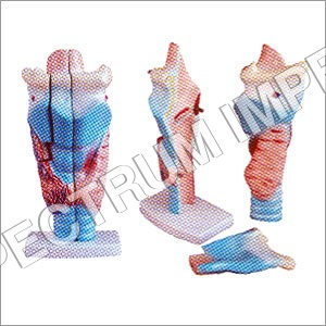 Magnified Human Larynx Model