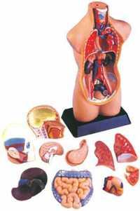Small Human Torso Model