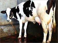 HF cows Trader