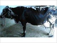 HF cows Trader in haryana