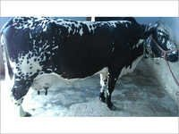 Holstein Friesian Cows supplier in india
