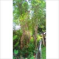 Agar Plantation