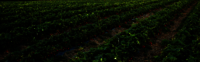 INDIAN STRAWBERRY FARMING