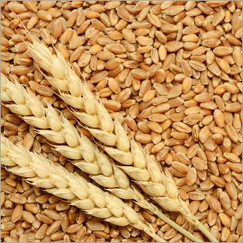 Animal Feed Wheat