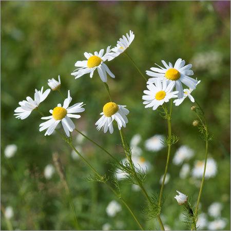 Chamomile Flower & Oil
