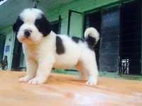 Saint Bernard Dog Puppy