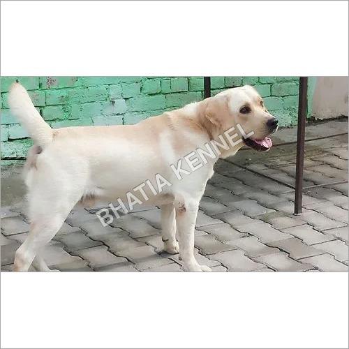 Lebra Dog Breed