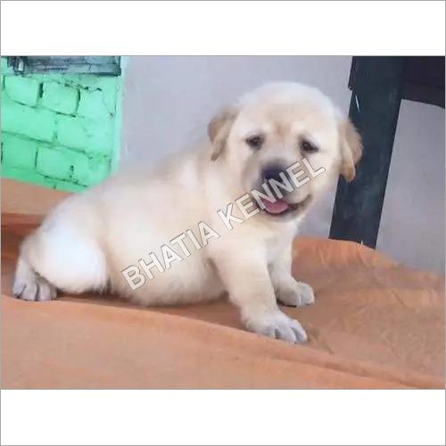 Lebra Dog Puppies