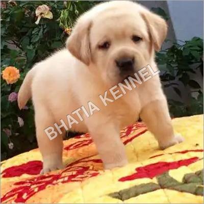 Lebra Dog Breed Puppy