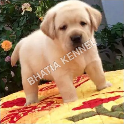 Lebra Dog Breed Puppy