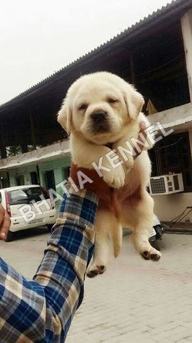 Lebra Pet Dog