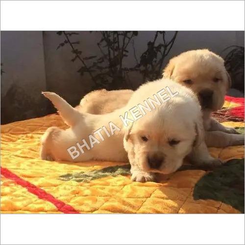 White Lebra Dog Puppies