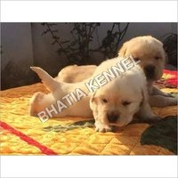 White Lebra Dog Puppies